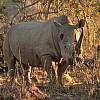 Marathon de la Terre – Afrique du Sud, rhinocéros blanc sur le parcours